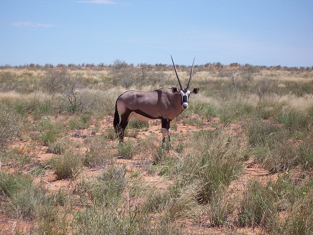 Gemsbock Kalahari-National-Park South-Africa